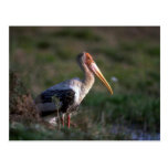 Adult Painted Stork Post Cards