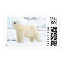Adult polar bear in search of food postage