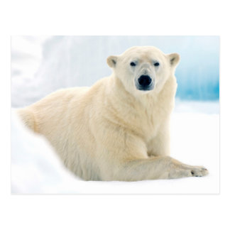 Adult polar bear large boar on the summer ice postcard