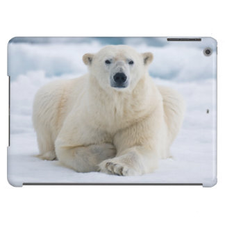 Adult polar bear on the summer pack ice cover for iPad air