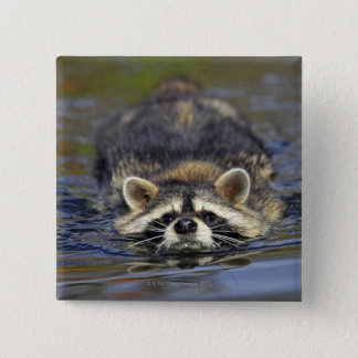 Adult Raccoon, Procyon lotorOrder : Pinback Button