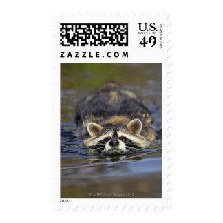 Adult Raccoon, Procyon lotorOrder : Postage Stamp