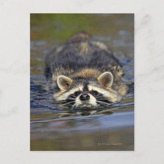 Adult Raccoon, Procyon lotorOrder : postcard