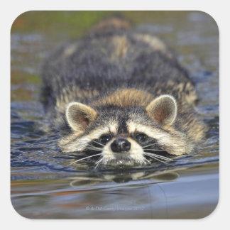 Adult Raccoon, Procyon lotorOrder : Square Sticker