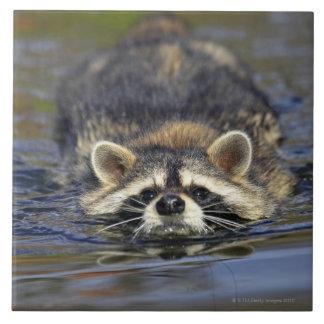 Adult Raccoon, Procyon lotorOrder : Large Square Tile