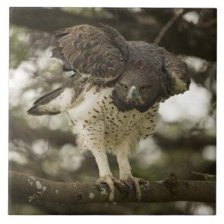 Adulto marcial de Eagle en árbol Azulejo Cuadrado Grande
