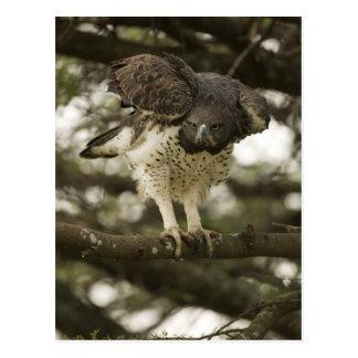 Adulto marcial de Eagle en árbol Tarjetas Postales
