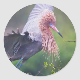 Adulto rojizo del Egret (Egretta Rufescens) Pegatinas Redondas