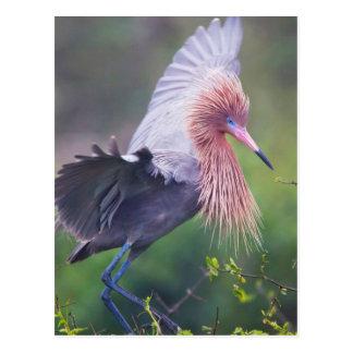 Adulto rojizo del Egret (Egretta Rufescens) Postales