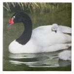 adulto y pollos del cisne Negro-necked del cisne e Azulejo Cuadrado Grande