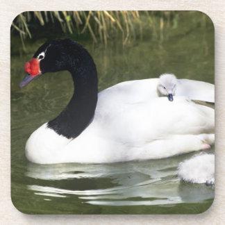 adulto y pollos del cisne Negro-necked del cisne e Posavasos De Bebida