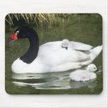 adulto y pollos del cisne Negro-necked del cisne e Alfombrillas De Raton