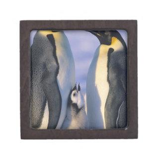 Adultos de los pingüinos de emperador forsteri de cajas de joyas de calidad