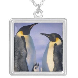 Adultos de los pingüinos de emperador (forsteri de pendientes