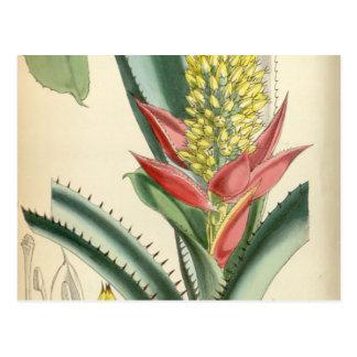 Aechmea mertensii (= mucroniflora) postcard