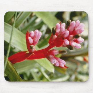 Aechmea rosado Weilbachii V. Leodinensis (Coralber Alfombrillas De Raton