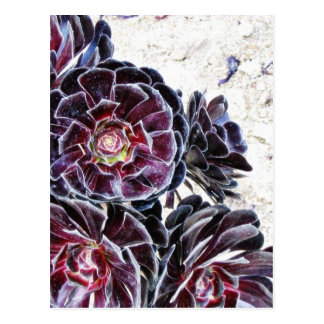 Aeonium Flower On Dry Rocks Postcard