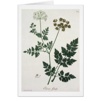 Aethusa Cynapium from 'Phytographie Medicale' by J Card