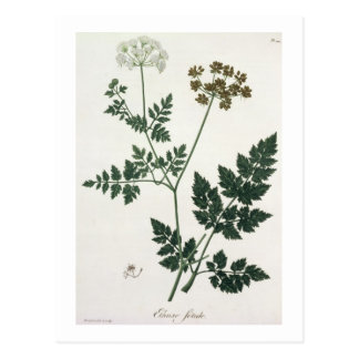 Aethusa Cynapium from 'Phytographie Medicale' by J Postcard