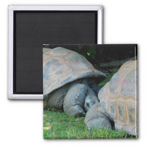 Affectionate Tortoises 2 Inch Square Magnet