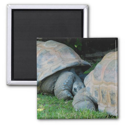 Affectionate Tortoises Refrigerator Magnet