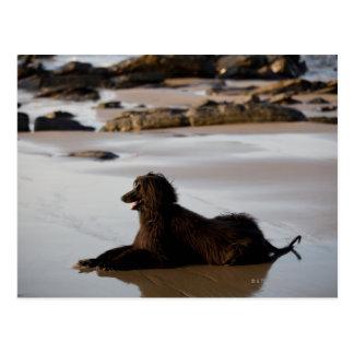 Afghan dog in the beach of Deba, Guipuzcoa, Postcard