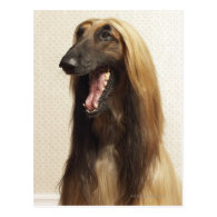 Afghan hound sitting in room post cards
