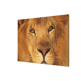 Africa. African male lion, or panthera leo. Canvas Print