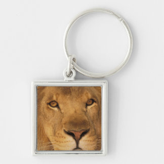 Africa. African male lion, or panthera leo. Keychain