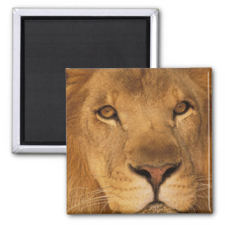 Africa. African male lion, or panthera leo. Magnet