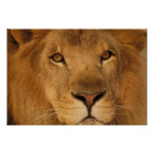Africa. African male lion, or panthera leo. Poster