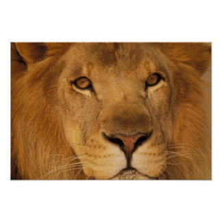 Africa. African male lion, or panthera leo. Print
