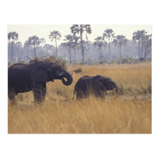AFRICA, Botswana, African Elephant Postcard