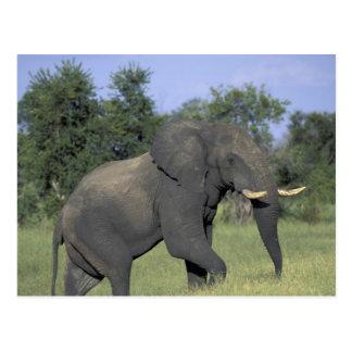 AFRICA, Botswana, Chobe National Park, Elephant Postcard