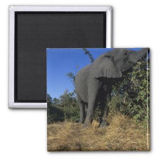 Africa, Botswana, Chobe National Park, Elephants 2 Inch Square Magnet
