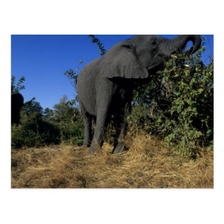 Africa, Botswana, Chobe National Park, Elephants Postcard