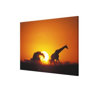Africa, Botswana, Chobe National Park, Giraffe 2 Canvas Print