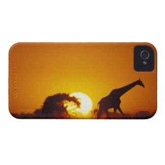 Africa, Botswana, Chobe National Park, Giraffe 2 Case-Mate iPhone 4 Case