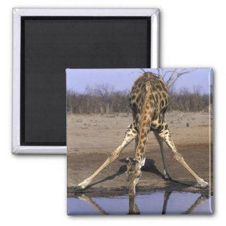 Africa, Botswana, Chobe National Park, Giraffe 2 Inch Square Magnet