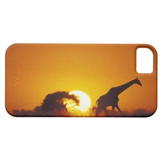 Africa, Botswana, Chobe National Park, Giraffe 2 iPhone 5 Cases