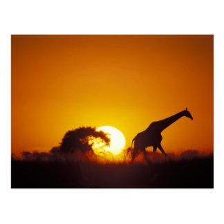 Africa, Botswana, Chobe National Park, Giraffe 2 Postcard