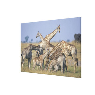 Africa, Botswana, Chobe National Park, Herd of 2 Stretched Canvas Prints