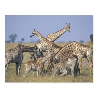 Africa, Botswana, Chobe National Park, Herd of 2 Postcard