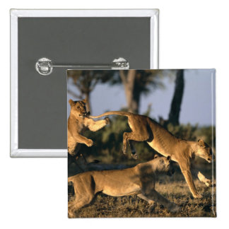Africa Botswana Chobe National Park Lionesses Buttons