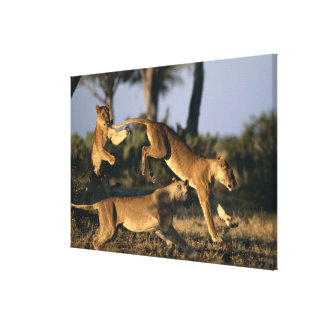 Africa, Botswana, Chobe National Park, Lionesses Canvas Print