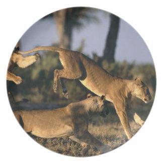 Africa, Botswana, Chobe National Park, Lionesses Plate