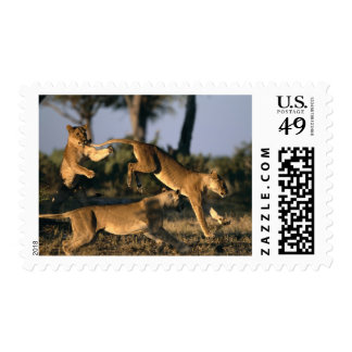 Africa, Botswana, Chobe National Park, Lionesses Postage Stamp