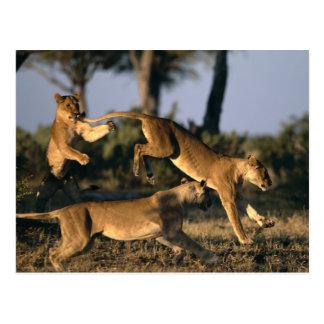 Africa, Botswana, Chobe National Park, Lionesses Postcard