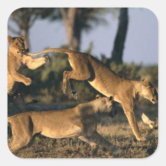 Africa, Botswana, Chobe National Park, Lionesses Square Sticker