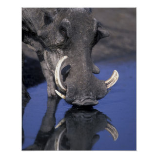 Africa, Botswana, Chobe National Park, Warthog Poster